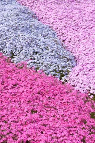 芝桜 (ジバザクラ) とは、